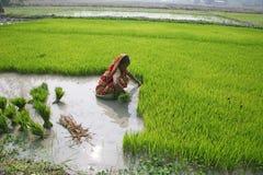 种植园米妇女工作 免版税库存图片