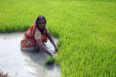 种植园米妇女工作 图库摄影