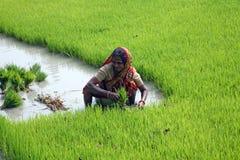 种植园米妇女工作 库存照片