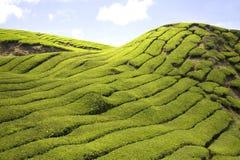 种植园茶 免版税库存图片