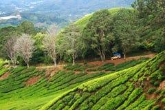 种植园茶 库存照片