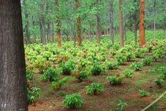 种植园 免版税库存图片