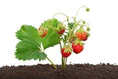 种植土壤草莓 免版税库存图片