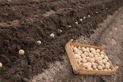 种植土豆 免版税库存照片