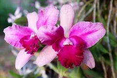 种植在一个罐的五颜六色的Cattleya花在庭院里 库存照片