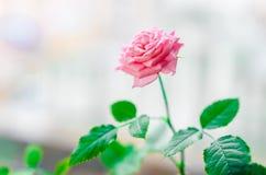 种植在一个罐的玫瑰在窗口 免版税库存图片