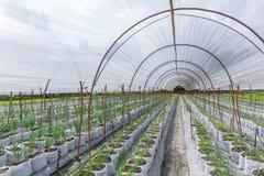 种植在农业农田的葱新芽 免版税图库摄影