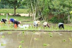 泰国农夫种植 免版税图库摄影