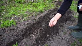 种植在土壤的农夫的手一颗种子 资深妇女播种荷兰芹在春天庭院里 影视素材