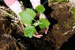 种植在地面的妇女南瓜幼木 图库摄影