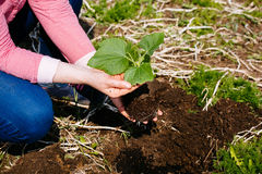 种植在地面的妇女南瓜幼木 库存照片