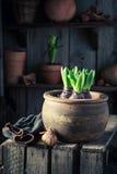 种植在大红土罐的一朵绿色番红花 免版税库存照片