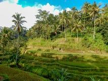 种植在山腰的米,落下了,与棕榈树和天空蔚蓝 免版税库存照片