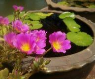 种植在庭院和近的河里的Rosemoss 库存图片