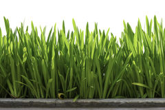 种植在白色背景的前景 免版税库存照片