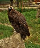 种植在笼子的一只老鹰,并且它将咬住它的酒吧,无论如何-他们是否是铁或金子 图库摄影