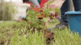 种植在绿色草坪的女性手花在夏天庭院里 在土壤的花匠移植的开花的花  影视素材