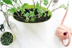 种植在罐的幼木无核小葡萄干,园艺工具 免版税图库摄影