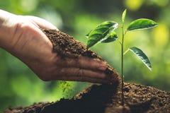 种植在自然光和blackground的一根树西番莲果树苗 免版税库存照片