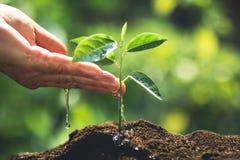 种植在自然光和blackground的一根树西番莲果树苗 图库摄影