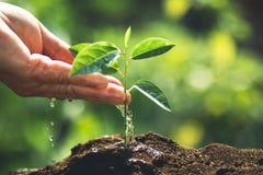 种植在自然光和blackground的一根树西番莲果树苗 库存图片