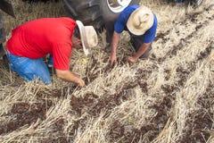 种植在领域的农夫检查 图库摄影