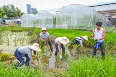 种植在稻田的农夫米树苗在有机农场 免版税库存照片