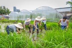 种植在稻田的农夫米树苗在有机农场 图库摄影