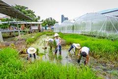 种植在稻田的农夫米树苗在有机农场 免版税库存图片