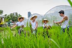 种植在稻田的农夫米树苗在有机农场 库存照片