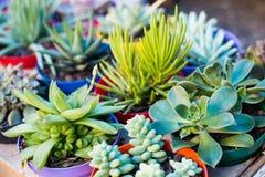 种植多汁植物 免版税库存照片