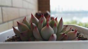 种植多汁植物 库存照片