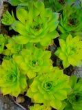 种植多汁植物 免版税库存图片