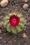 种植多汁植物 图库摄影