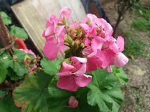 种植大竺葵 库存图片