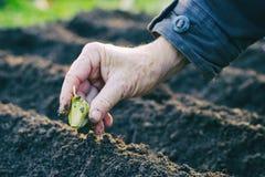 种植大蒜的农夫在菜园里 免版税库存图片