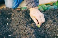 种植大蒜的花匠在菜园里 免版税库存图片