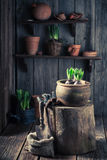 种植对黑暗的土壤的一朵绿色番红花 免版税库存照片
