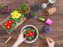 种植寻常报春花的樱草属,紫罗兰色风信花,盆的黄水仙,工具,妇女手,春天从事园艺的概念 免版税库存照片