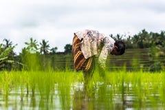 种植工作的印度尼西亚农夫米 免版税库存照片