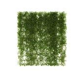 种植常春藤 在杆的藤在白色 免版税库存照片
