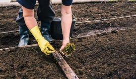 种植年幼植物幼木土壤的 一名妇女的手的特写镜头种植蔓越桔种子的手套的 ?treadled 免版税图库摄影