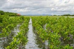 种植投影面积的美洲红树在蜜饯的泰国mang 库存图片