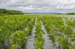 种植投影面积的美洲红树在蜜饯的泰国mang 免版税库存照片