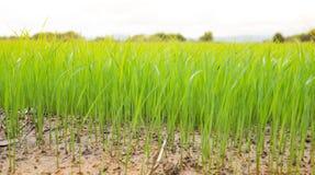 种植播种在领域的米在北Thailan的雨季 库存图片