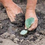 种植新芽的圆白菜 免版税库存图片