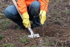 种植春天结构树的花匠 免版税库存照片
