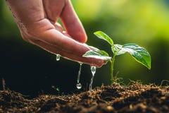 种植树成长浇灌在自然光和背景的西番莲果和手 免版税库存图片