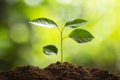 种植树树成长种子第四颗步种子是树 免版税图库摄影