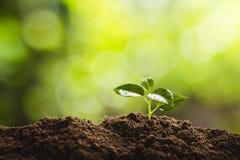 种植树树成长种子第四颗步种子是树 库存照片